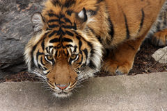 Crouching Tiger. Sumatran Tiger crouching at a zoo, ready to pounce on another tiger Royalty Free Stock Photography