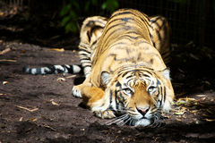 Crouching Tiger. Tiger crouching down in the dirt, laying in the sunlight, looking directly ahead Royalty Free Stock Image