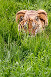 Crouching Tiger Hidden in Green. Beautiful Siberian Tiger hiding in the grass Royalty Free Stock Images