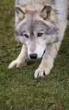 Crouching Timber Wolf. (Canis Lupus) - captive animal Stock Photos