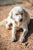 Crouching Vagrant dog. Very shallow depth of field Royalty Free Stock Photos