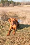 Crouching Vizsla Dog (Hungarian Pointer) Royalty Free Stock Photos