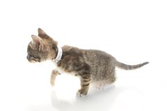 Crouching 8 Week old Kitten Stock Photography