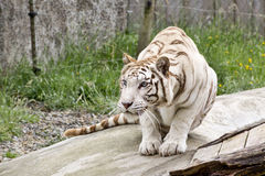 Crouching White Tiger. A WhiteTiger crouching, watching its prey Stock Photos