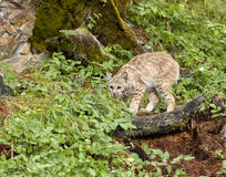 Crouching Wildcat. Beautiful bobcat on a log in a clearing in the woods ready to attack his prey Stock Photography