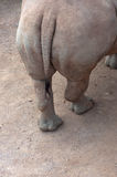 Croup hippo. Croup hippo close-up Royalty Free Stock Image