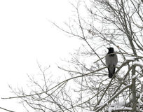 Crow. A crow perching on a snow-covered tree branch royalty free stock photos