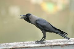 Crow. On wooden bridge royalty free stock photos