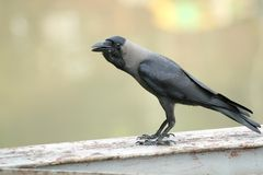 Crow. On wooden bridge royalty free stock image