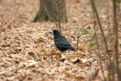 Crow. A black crow royalty free stock photography