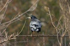 Crow.  Royalty Free Stock Photos
