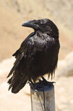 Crow. Portrait of black crow standing royalty free stock images
