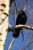 Crow. On the twig. Sunny winter day Stock Photo