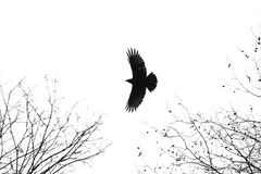 Crow Royalty Free Stock Photos