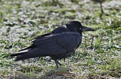 Black crow on a meadow. In urban areas,  familiar with people, very close to the camera lens Royalty Free Stock Image
