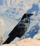 Crow. Big black crow and mountains bckround Stock Photography
