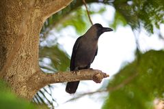 Crow. Sitting on a branch of a tree royalty free stock photo