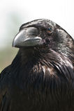 Crow. Black crow portrait close up stock image