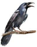 Crow Royalty Free Stock Photo