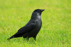 Crow. Black crow on green grass Stock Images