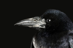 Crow Stock Photography