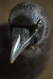 Crow. Portrait of a black crow. Close up royalty free stock images