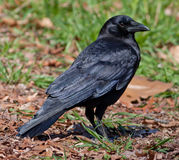 Crow. Close-up of American Crow (Corvus brachyrhynchos) on the ground stock image