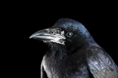 Crow. Black crow portrait close up stock photos