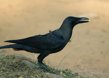 Crow. An asian crow with eatables in the field royalty free stock photography