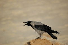 Crow. Shouting crow Royalty Free Stock Photo