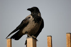 Crow. On fence Stock Image