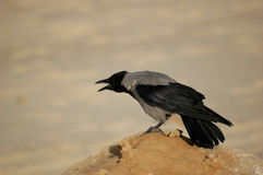 Crow. Shouting crow Royalty Free Stock Photography