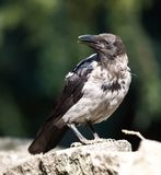 Crow. Sitting on the fence Royalty Free Stock Photos