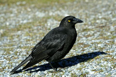 Crow. Standing still on ground Royalty Free Stock Photography
