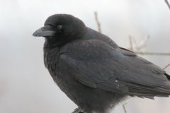 Crow. A Big Black Crow royalty free stock photography