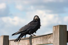 Crow Royalty Free Stock Image