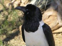 Crow. Black Crow stock photo