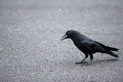 The crow. Crow on the tarmac Royalty Free Stock Image