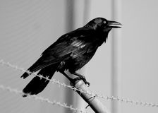 Crow Royalty Free Stock Images