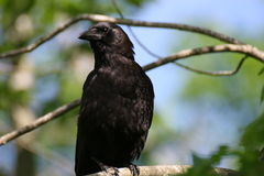 Crow. A Crow on a branch royalty free stock photography