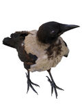 Crow. Isolated over white full-blast. With clip path for your convenience Royalty Free Stock Photos