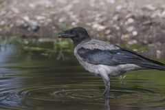 Crow acting in puddle Stock Photos