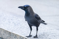 The Crow Royalty Free Stock Photo