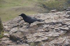 A crow on Arthur`s seat, Edinburgh Stock Photos