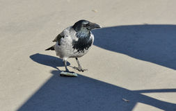 Crow on the asphalt on a Sunny day Royalty Free Stock Images