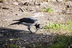 Crow on autumn ground Stock Images