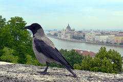 Crow. On a background of the Danube Stock Photo