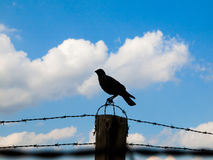 Crow on the barb wire fence. Silhouette of crow sitting on the barb wire fence. Blue sky and white clouds on background Stock Images