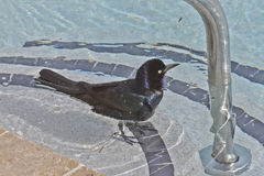 Crow Bathing in a Swimming Pool Stock Photography