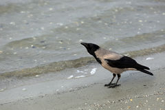 Crow on the beach Royalty Free Stock Photos